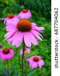 Echinacea purpurea   pink and...