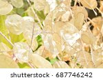 Close Up Of Dried Lunaria Annu...