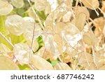 Close Up Of Dried Lunaria Annu...