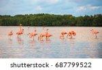 flamingoes at rio lagartos... | Shutterstock . vector #687799522