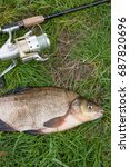 Small photo of Close up view of just taken from the water big freshwater common bream known as bronze bream or carp bream (Abramis brama) and fishing rod with reel on natural background.