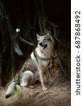 wolfdog sitting behind pinetree ... | Shutterstock . vector #687868492
