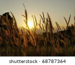 Grass Plumes At Sunset
