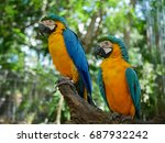 macaw birds stand on branch in... | Shutterstock . vector #687932242