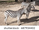 zebra in australia.   Shutterstock . vector #687934402