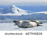 crabeater seals on ice floe ... | Shutterstock . vector #687940828