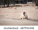 camels in australia.   Shutterstock . vector #687941446