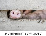 Snout Of A Pig  Macro  Close U...