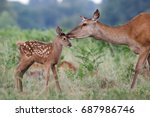 red deer  cervus elaphus ... | Shutterstock . vector #687986746