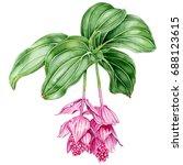 medinilla. beautiful tropical... | Shutterstock . vector #688123615