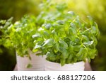 Fresh Basil Parsley Mint Herbs...