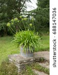 Small photo of Agapanthus Growing in a Wooden Barrel in a Country Cottage Garden in Rural Somerset, England, UK