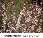 very beautiful sakura in the... | Shutterstock . vector #688179712