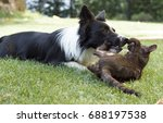 a border collie puppy plays... | Shutterstock . vector #688197538