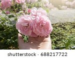 Stock photo woman hand holding pink english rose at english garden in a hot sunny day in summer 688217722