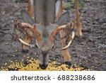 whitetail buck deer eating corn ...   Shutterstock . vector #688238686