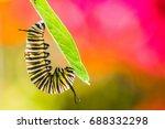 Monarch Caterpillar Feeding On...