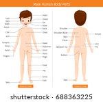 male human anatomy  external... | Shutterstock .eps vector #688363225