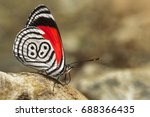 beautiful butterfly diaethria... | Shutterstock . vector #688366435