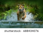 Stock photo amur tiger running in water danger animal tajga russia animal in forest stream grey stone 688434076