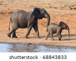 Wet Elephant Cow And Calf...