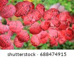 autumn color leaves texture as... | Shutterstock . vector #688474915