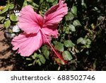 An Image Of A Pink Hibiscus...