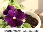 Purple Pansy In A Pot