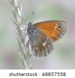 Small photo of Butterfly Coenonympha tullia (underside) on the plant