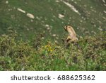 alpine marmot shouting in the... | Shutterstock . vector #688625362