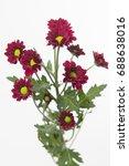 Small photo of Chrysanthemum Indicum Grp spray santini AAA Marek
