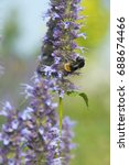 Small photo of Agastache Black Adder