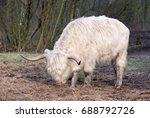 adult highland cattle.one white ... | Shutterstock . vector #688792726