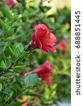 red flowers    Shutterstock . vector #688851445