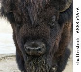 Small photo of A closeup of the head of an American bison (American buffalo or simply buffalo)