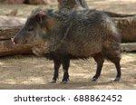 the collared peccary  pecari... | Shutterstock . vector #688862452