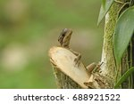 Small photo of Ameiva Lizard climbing on a tree trunk in Sarapiqui, Costa Rica