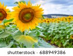 blooming sunflowers and... | Shutterstock . vector #688949386