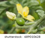 Macro Of Watermelon Flower With ...