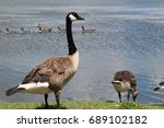 Canadian Geese And Little...