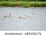 the spot billed pelican or grey ... | Shutterstock . vector #689156176