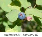 Small photo of Serviceberry Fruits Amelanchier alnifolia