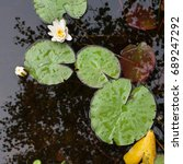 Waterlilies With Their Leaves