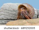 Caribbean Hermit Crab on beach/Hermit Crab/Caribbean Hermit Crab (Coenobita clypeatus)