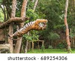 Tiger Hungry In Action Jumping...
