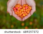 cloudberry grow in the forest... | Shutterstock . vector #689257372