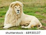 Beautiful Male White Lion Lyin...