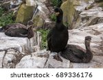 Small photo of Farne Islands Shag with Chick / Shags are a smaller relative of the Cormorant and nest of cliff faces, being resident all year in the UK