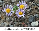 Small photo of Purple flowers with yellow heart of Rocky Mountain Alpine Fleabane (Erigeron grandiflorus) in Yellowstone National Park