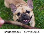 Stock photo beautiful dog breed french bulldog fawn color walking outdoors and plays with a stick in summer 689460016
